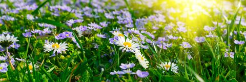 Banner 3:1. Soft focus carpet of Nemophila baby blue eyes flower with sunlight rays. Spring background. Copy space.  stock images