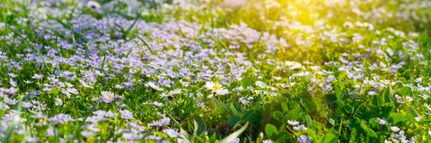 Banner 3:1. Soft focus carpet of Nemophila baby blue eyes flower with sunlight rays. Spring background. Copy space.  stock photo