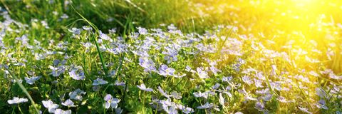 Banner 3:1. Soft focus carpet of Nemophila baby blue eyes flower with sunlight rays. Spring background. Copy space.  stock image