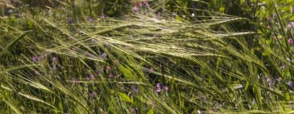 Banner -Summer meadow grass ,natural background. Banner Summer meadow grass with Wildflowers in sunset . Bokeh natural background Stock Image