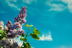banner tła kwiaty form różowego spiralę trochę Piękna wiązka lily zbliżenie Li Zdjęcie Royalty Free