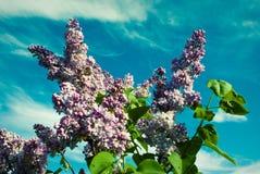 banner tła kwiaty form różowego spiralę trochę Piękna wiązka lily zbliżenie Li Obraz Stock