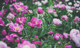 banner tła kwiaty form różowego spiralę trochę Piękne różowe i czerwone peonie w polu Zdjęcie Royalty Free