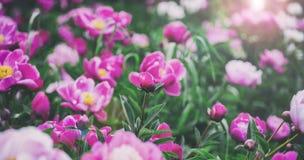 banner tła kwiaty form różowego spiralę trochę Piękne różowe i czerwone peonie w polu Zdjęcia Royalty Free