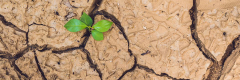 BANNER tree growing on cracked earth. growing tree save. the world environmental problems. cut tree Long Format Royalty Free Stock Image