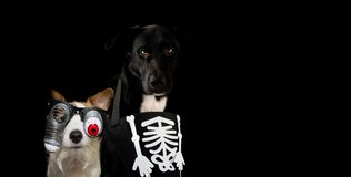 BANNER OF TWO DOGS DRESSED WITH A HALLOWEEN SKULL COSTUME AND RE. D ZOMBIE BLOODSHOT EYEGLASSES. ISOLATED AGAINST DARK BACKGROUND WITH COPY SPACE royalty free stock images