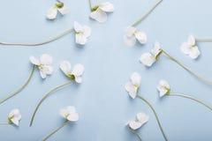 Banner van blauwe achtergrond met witte pansies royalty-vrije stock foto