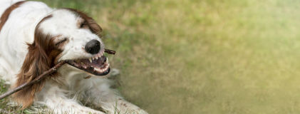 Banner of a white dog as chewing a stick Stock Image