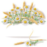 Banner with Wild Chamomile  and Wheat EarsBunch. Royalty Free Stock Image