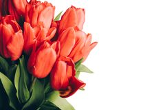 Free Banner With A Bouquet Of Red Tulips On An White Background. Flat Lay, Top View With Copyspace. Stock Images - 191328404
