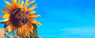 Banner Yellow sunflower on blue sky background. Flowering plant Royalty Free Stock Photos
