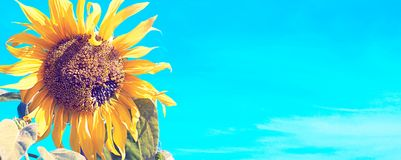 Banner Yellow sunflower on blue sky background. Flowering plant Royalty Free Stock Images