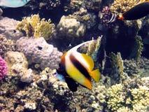 bannerfish Ερυθρά Θάλασσα Στοκ Φωτογραφίες