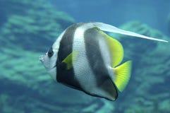 bannerfish Ερυθρά Θάλασσα Στοκ φωτογραφία με δικαίωμα ελεύθερης χρήσης
