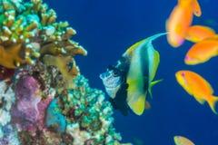 bannerfish Ερυθρά Θάλασσα Στοκ φωτογραφίες με δικαίωμα ελεύθερης χρήσης