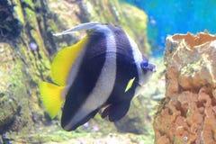 Bannerfish и коралл Стоковые Изображения