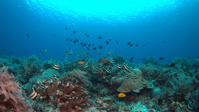 Bannerfish на коралловом рифе Стоковые Изображения