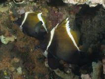 Bannerfish рыб коралла Horned Стоковое Изображение RF