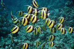 Bannerfish Stock Images