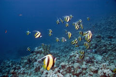 Bannerfish Royalty Free Stock Image