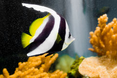 Bannerfish Royalty Free Stock Photos