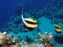 bannerfish Fotografering för Bildbyråer