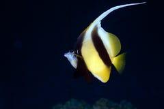 Bannerfish Royalty Free Stock Photos
