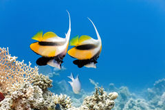 Bannerfish Royalty Free Stock Images