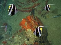 Bannerfish Stock Photography