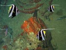 Bannerfish stock fotografie