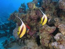Bannerfish immagini stock libere da diritti