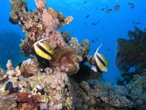 Bannerfish Fotografia Stock