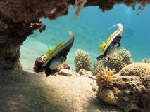 Bannerfish in a clear blue sea. Pair of Bannerfish under a coral head in clear blue water Royalty Free Stock Photo