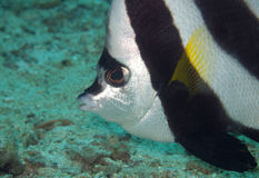 Bannerfish close up. A close up shot of a longfin banner fish Stock Images
