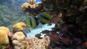 Bannerfish on coral reef Stock Photos