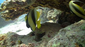 Bannerfish on Coral Reef Stock Photography