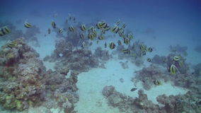 Bannerfish on Coral Reef Stock Images
