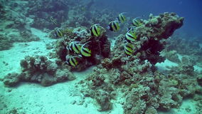 Bannerfish on Coral Reef Royalty Free Stock Images