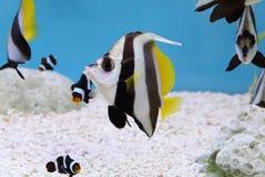Bannerfish d'istruzione variopinto Fotografia Stock Libera da Diritti