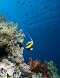 Bannerfish de la Mer Rouge (intermedius de Heniochus) Photos libres de droits