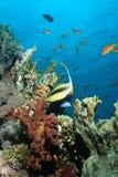 Bannerfish del Mar Rojo (intermedius de Heniochus) Imágenes de archivo libres de regalías
