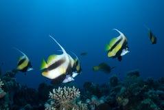 Bannerfish del Mar Rosso (intermedius di heniochus) fotografia stock libera da diritti