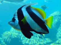 Bannerfish dettagliatamente Fotografie Stock