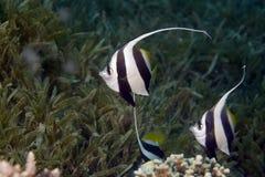 bannerfish diphreutes heniochus教育 库存图片