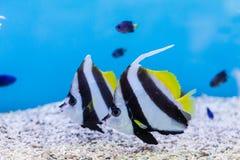 Bannerfish & x28; Heniochus acuminatus& x29; w akwarium obrazy stock