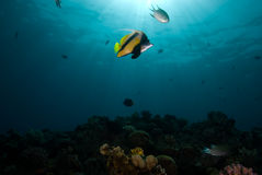 bannerfish heniochus intermedius czerwony morze Obrazy Royalty Free