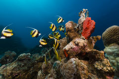 Bannerfish (heniochus intermedius) and tropical reef in the Red Sea. Stock Photos