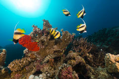 Bannerfish (heniochus intermedius) and tropical reef in the Red Sea. Royalty Free Stock Photo