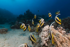 Bannerfish (heniochus intermedius) and tropical reef in the Red Sea. Royalty Free Stock Photos