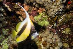 Bannerfish Longfin в Египте Стоковое Изображение RF